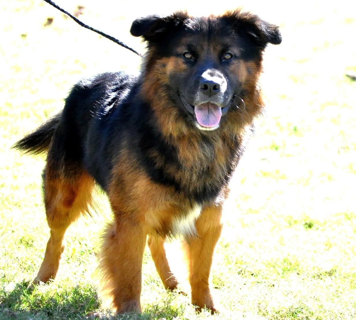 Adopt bear on dog adoption shepherd mix dog pets
