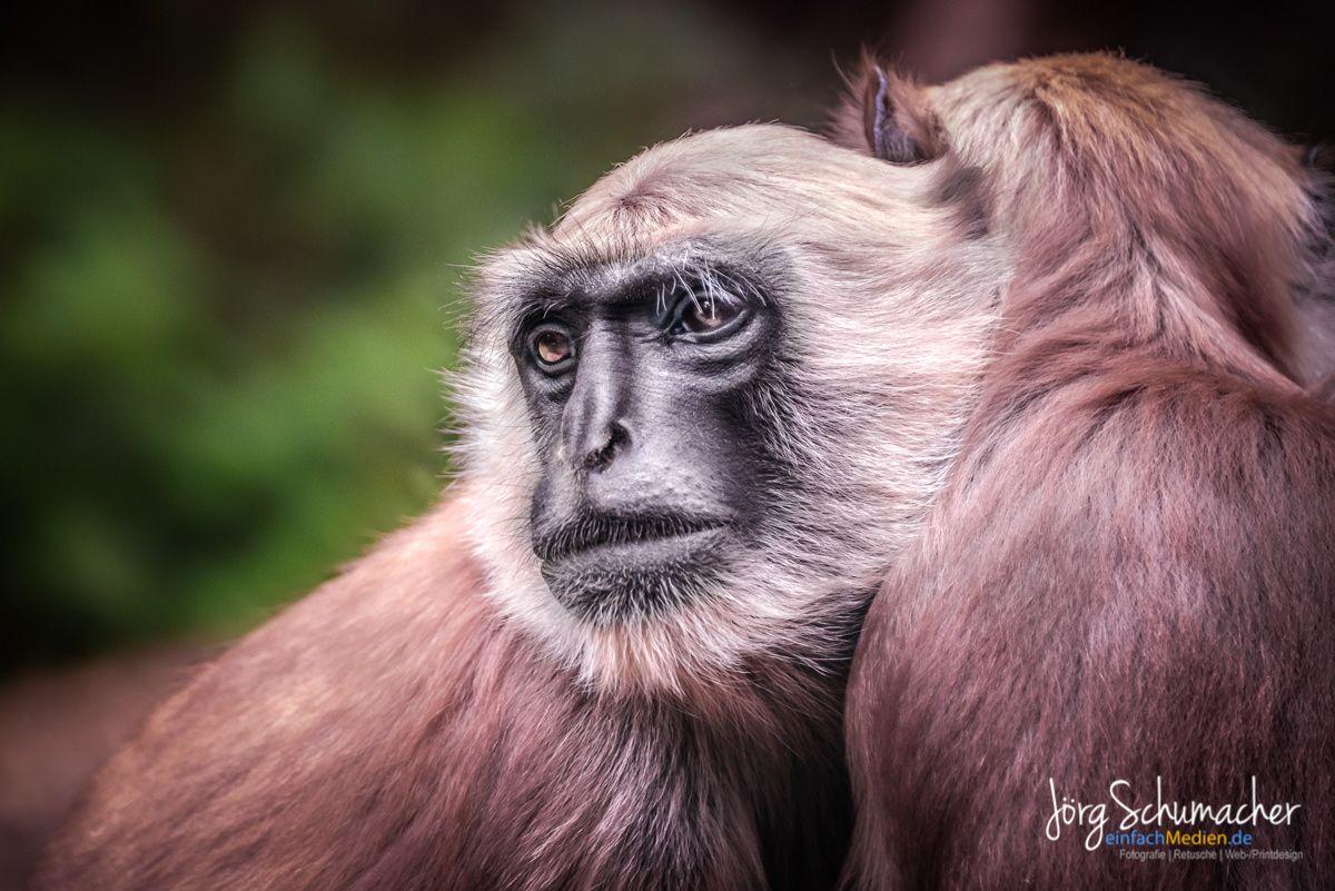 Affe Monkey Affen Tiere