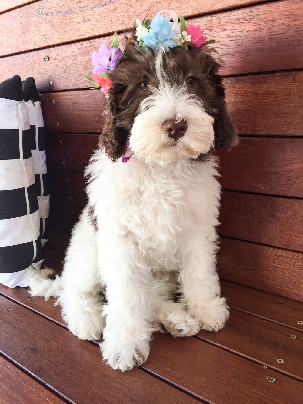 14 Week Old Sophie Australian Multi Generational Labradoodle Medium Fleece Coat Labradoodle Dogs Labradoodle Dogs