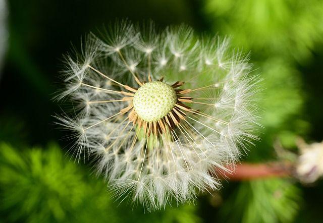 Free Image On Pixabay Dandelion Clock White Parachute Dandelion Dandelion Clock Free Images