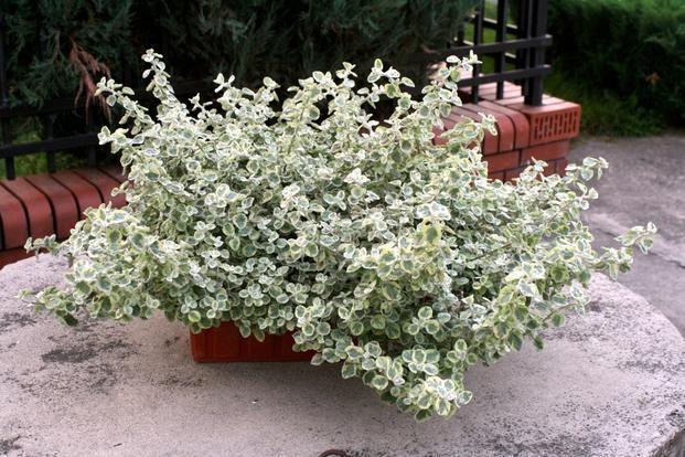 Rosliny Balkonowe Odporne Na Wiatr Helichrysum Plants Garden