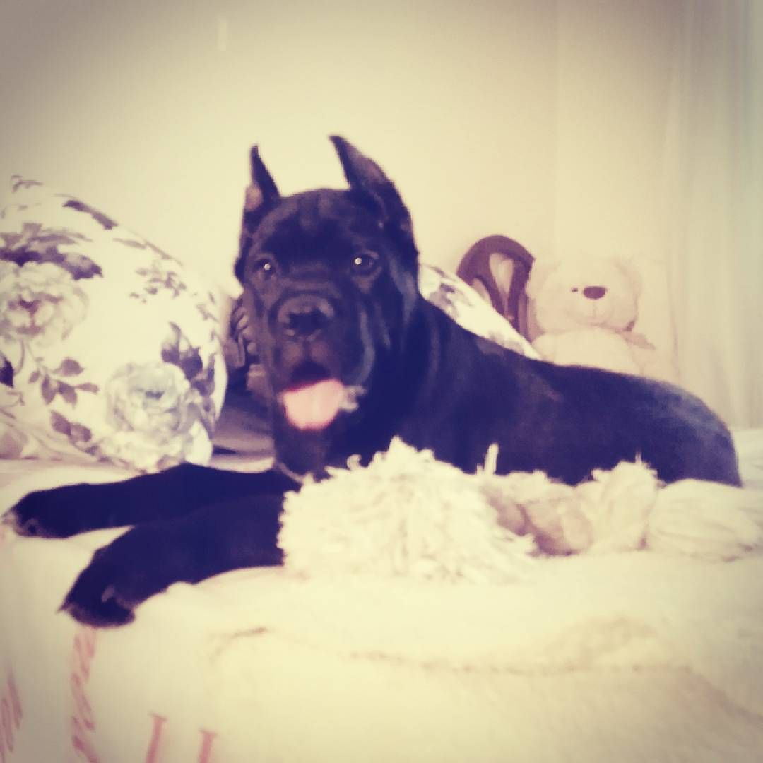 Kendine Yatak Yapmis For Sale Cane Corso Puppys F C I