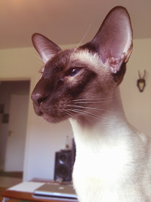 beautiful meezer | Lovely Siamese | Cats, Siamese cats ...
