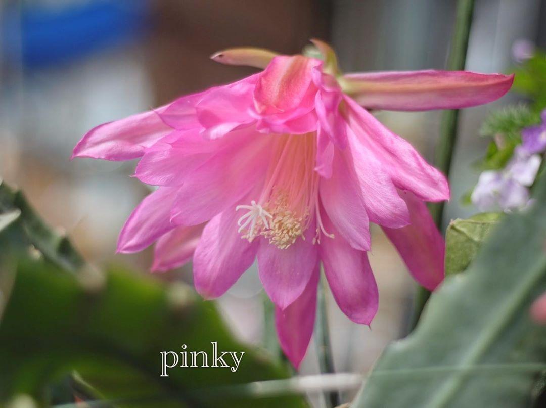 サボテンの花 (手のひら大)  #flowers #flower #flowerstagram #flowerphotography #flower_and_art #flowerlovers #flowerpower #flower_special_ #flower_captures #flower_photography #flower_special_vip #flowerpics #flower_shotz #flowershots #flower_super_pics #flowerpower🌸 #花 #花フレンド #花まっぷ #ザ花部 #花部 #花好きな人と繋がりたい #花のある暮らし #花のある風景 #季節の花 #自然の花 #サボテンの花 #大きな花 #ピンク色の花 #名前教えて  右下に見えるのが葉です^_^デンマークカクタスと同じような形ですが、大きさは、手のひらくらいです‼️初めて見ました😳