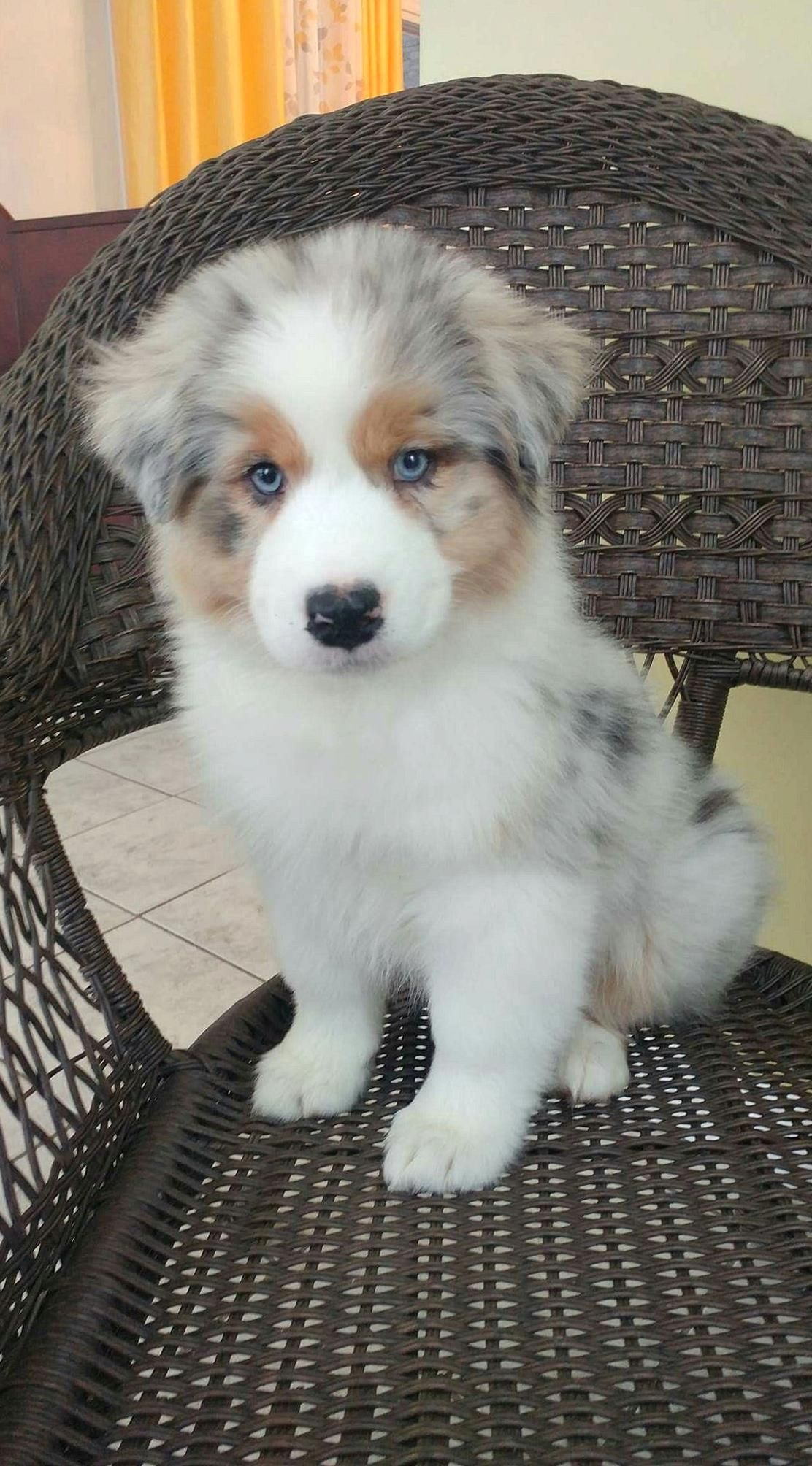 Meet Noelle Our Beautiful Miniature Australian Shepherd Puppy She Has A Great Red Tricoat With Copper And Whit In 2020 Dog Breeds Top Dog Breeds Healthiest Dog Breeds