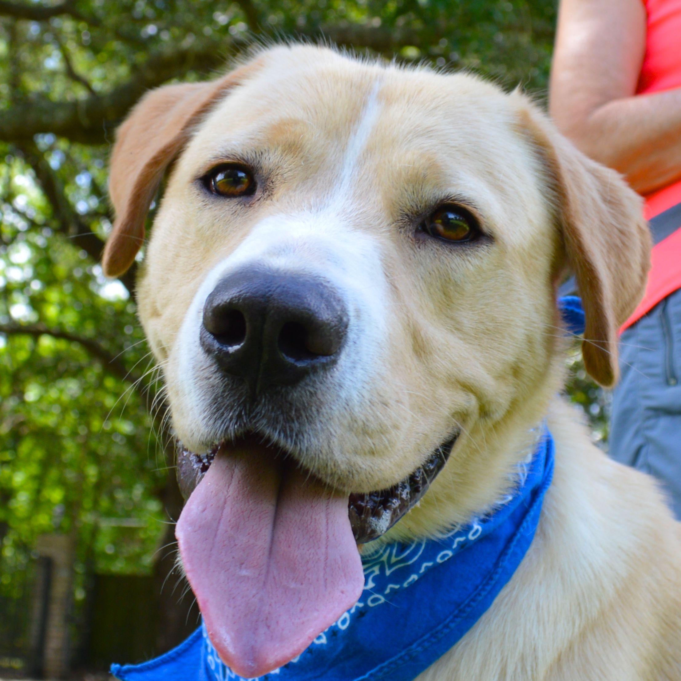 Golden pyrenees dog for adoption in lafayette la adn
