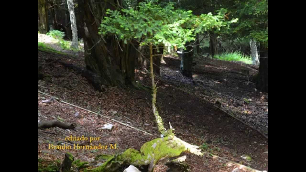 La Tejeda de Tosande. Un bosque mágico en la Montaña Palentina - El ambiente sombrío de la tejeda, con sus troncos retorcidos y sus raíces entrelazadas crean un ambiente mágico, alimentado por las leyendas que siempre han existido en torno a este árbol, el árbol mítico de los celtas.
