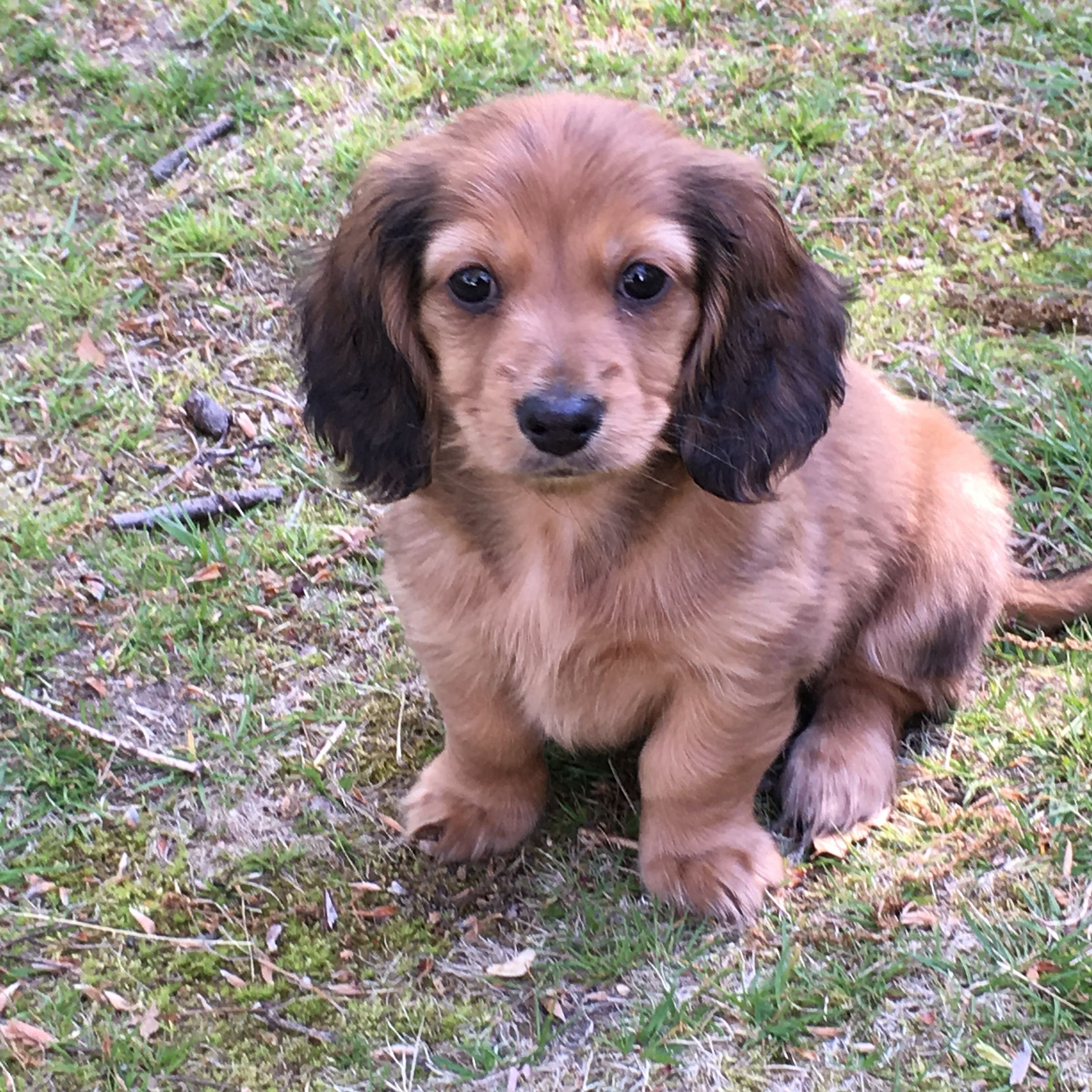9 Week Old Miniature Longhaired Dachshund Named Logan Dachshund