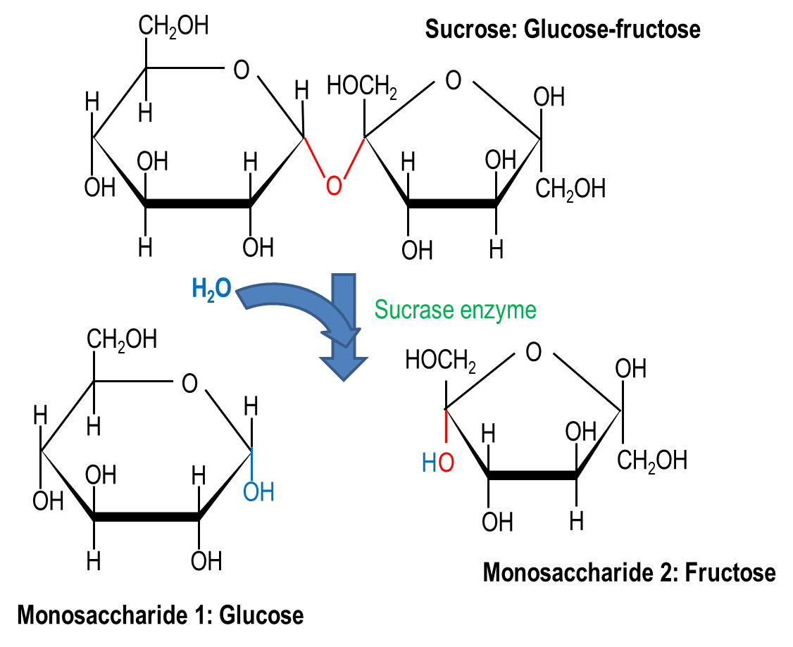 Molecular Image Showing The Hydrolysis Breakdown Of A Carbohydrate Sucrose Into 2