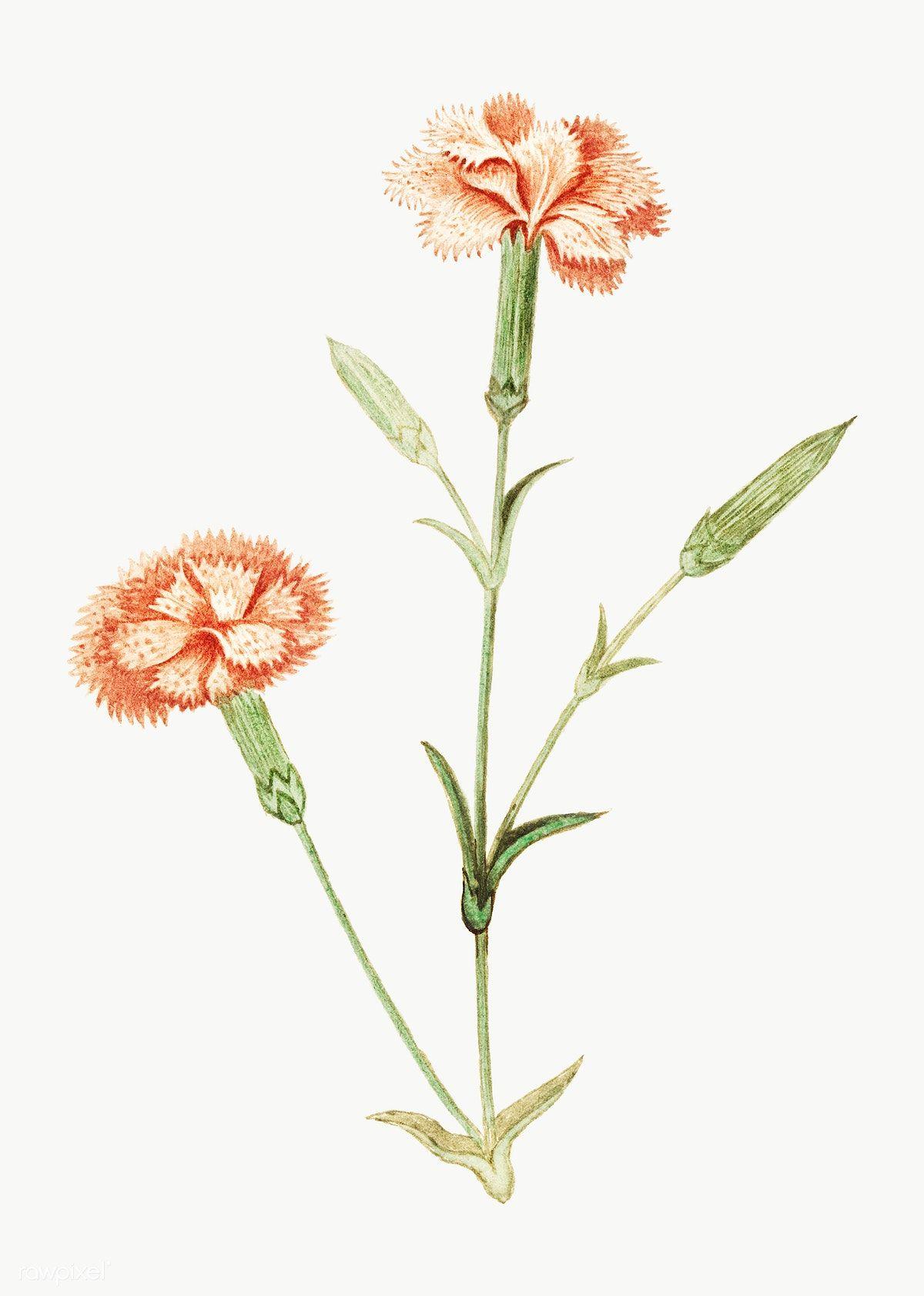 Vintage Carnation Flower Illustration Free Image By Rawpixel Com Flower Illustration Carnation Flower Flower Drawing