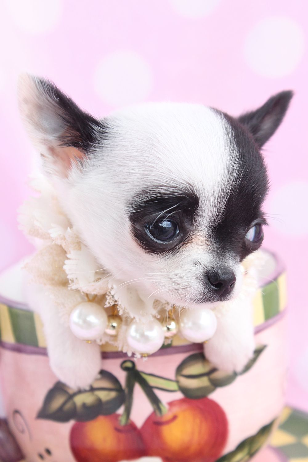 Chihuahua Minus The Pearls And Cup Placement And This Pic Would