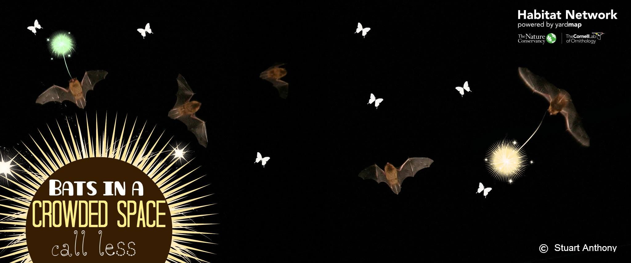 """New research sheds light on how bats use echolocation for hunting and maneuvering in the dark, sometimes crowded spaces. When bats hear another bat calling, they minimize their own echolocation, researchers coined this behavior """"mutual suppression"""". As a way to support bats in your community, consider installing a bat house: http://content.yardmap.org/learn/habitat-feature-bat-houses/."""