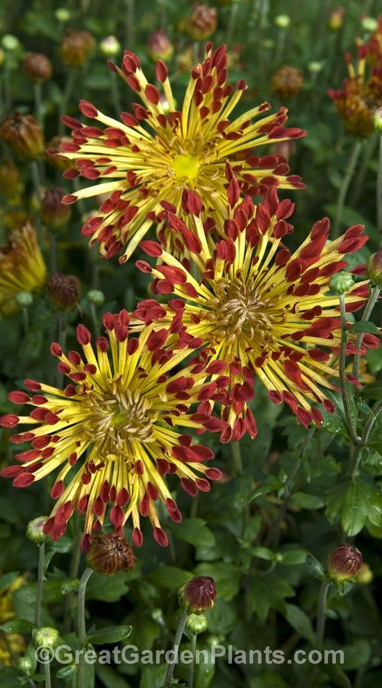 Hardy Perennials For Zone 4 Perennial Plants Not Just A Mum Quilled That Is