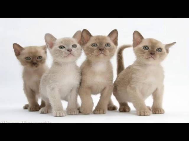 Top 10 Reasons to Choose a Burmese Cat as Your Pet