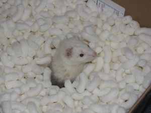 Inexpensive homemade ferret toys.
