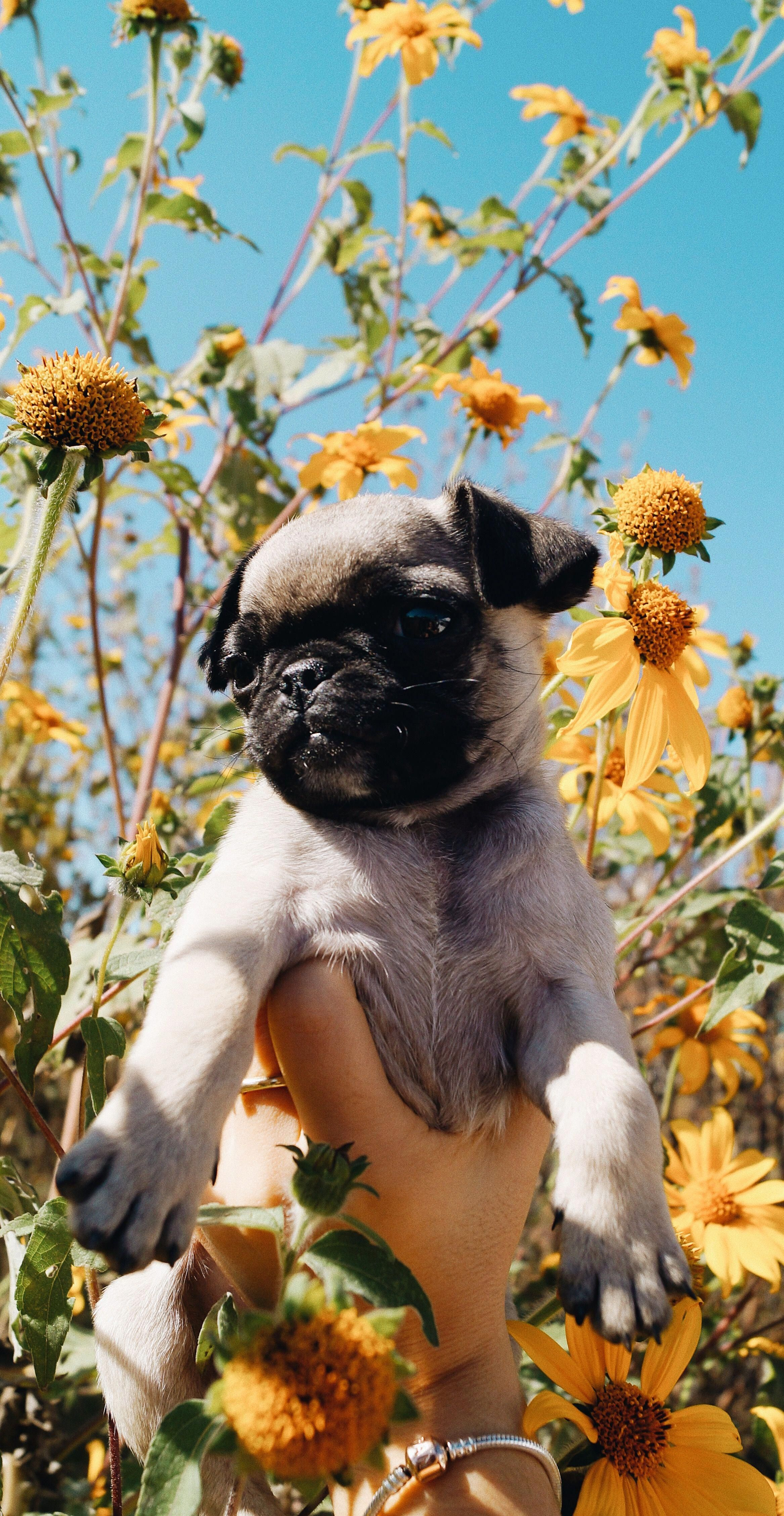 Cute Pug Wallpapers For Iphone Pug Puppy Flower Wallpaper Tumblr Dog Wallpaper