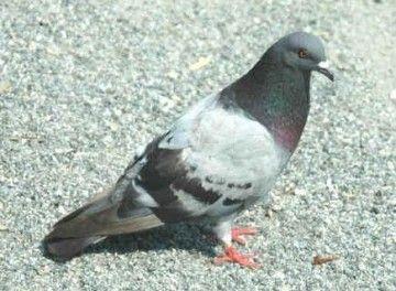 7b5108cfa251d901ec80d57804a6be73 - How To Get Rid Of Pigeons In My Barn