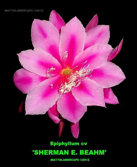 EPIPHYLLUM ORCHID CACTUS             ALGIERS