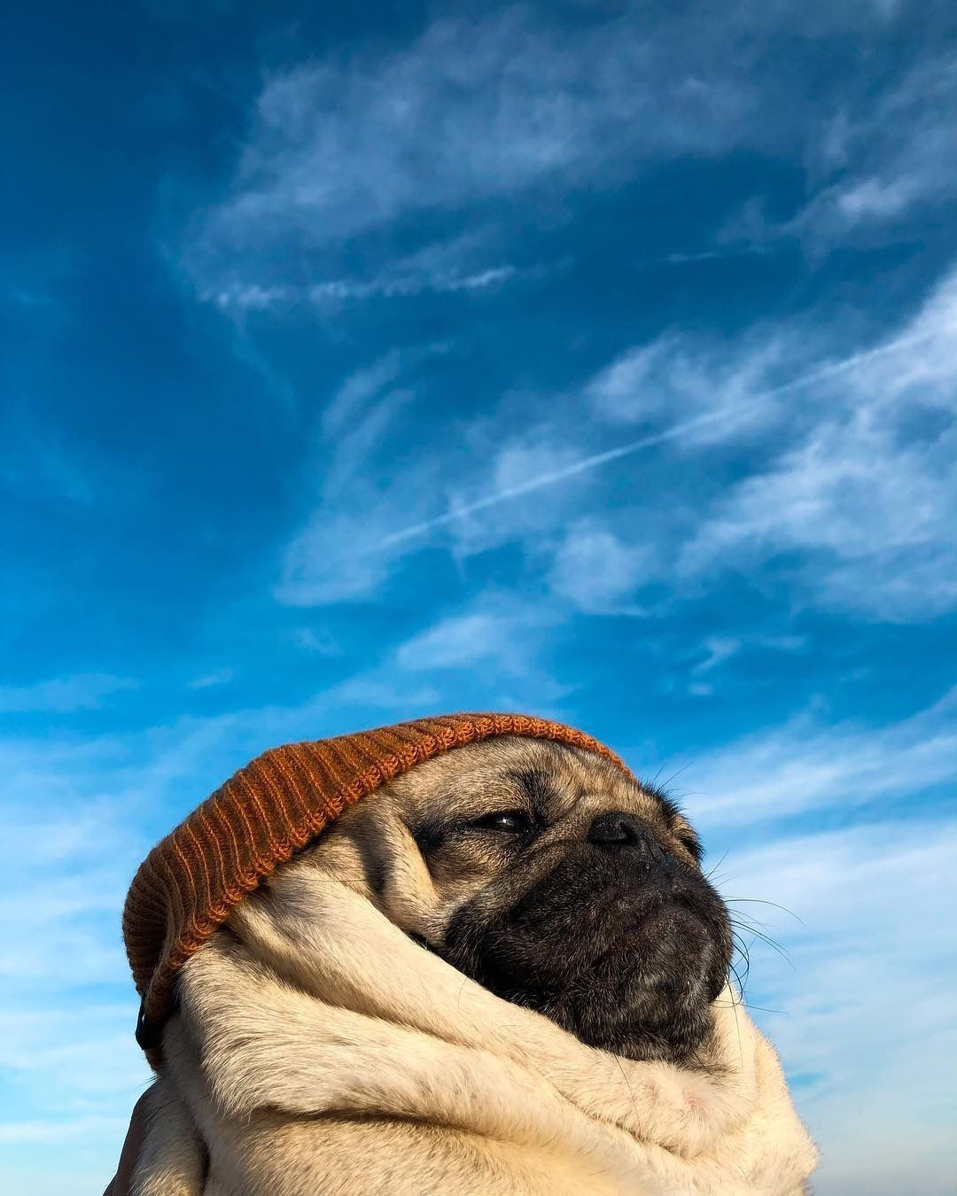 Have You Ever Seen A More Majestic Pug Via Aww On November 26