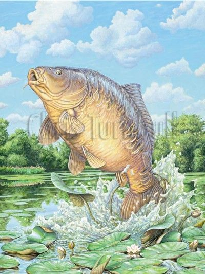 Carp Drawing Hľadať Googlom Fish Drawings Fish