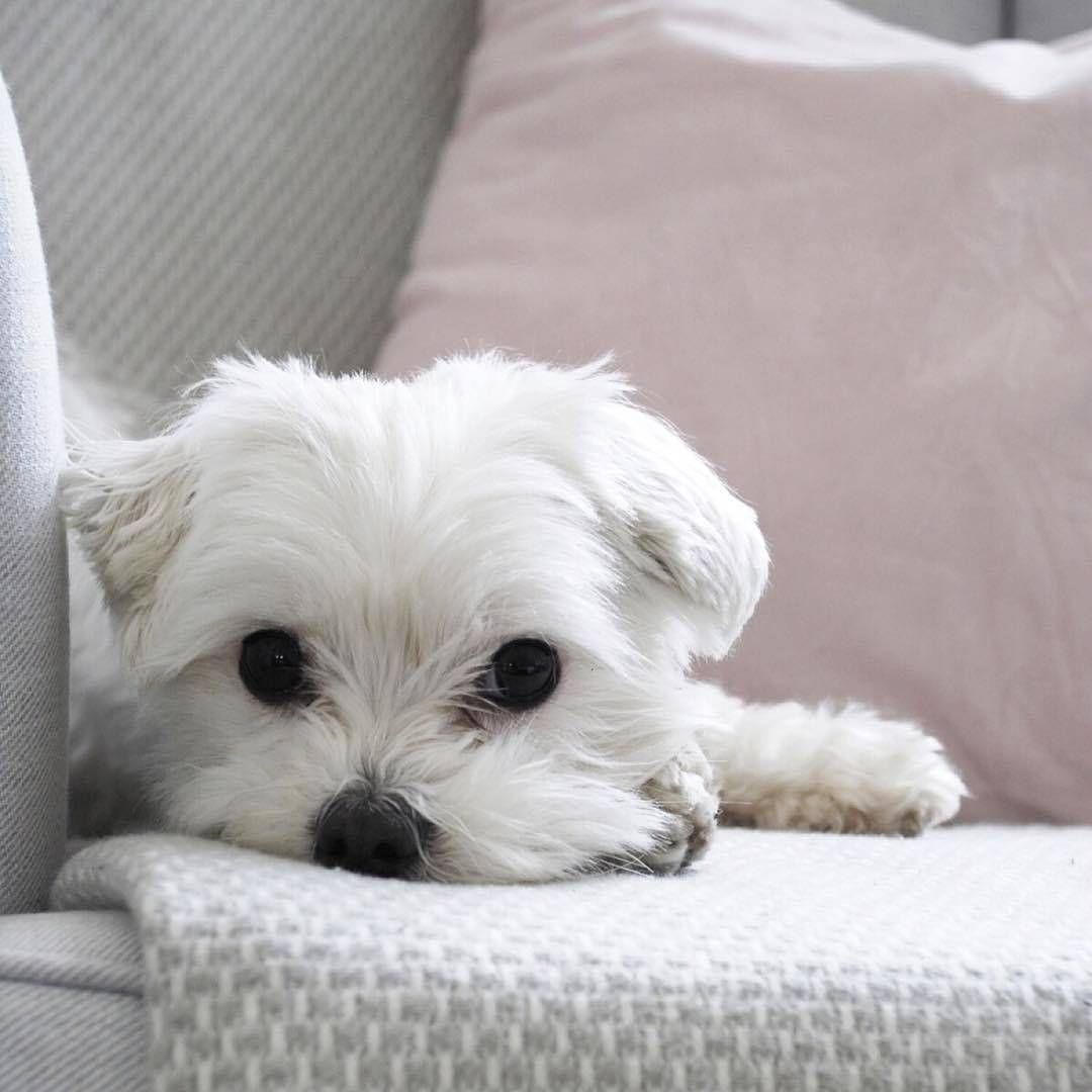 Cute Maltese Puppy Puppy Puppies Cutepuppy Cutepuppies