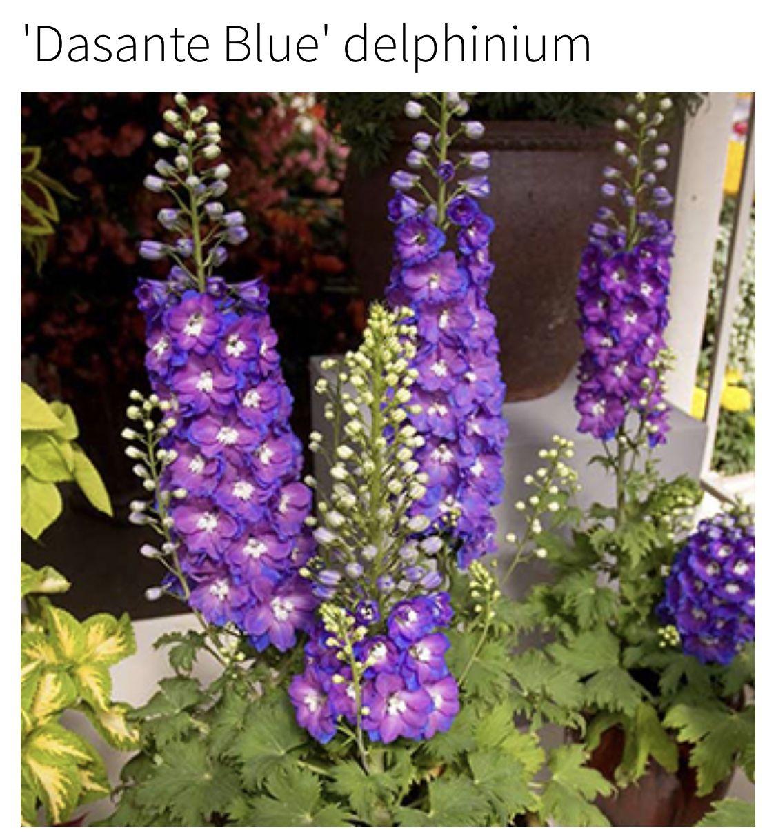 Dasante Blue Delphinium Credit Bhg Com With Images