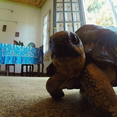 This capture makes me so happy   #turtlefollowinggopro#turtlepower#enjoyinglife#animalisch#turtle#animal#turtletime#gopro#gopro_boss#goprolife#goprohero4#gopro_epic#gopro_4life#goprodaily#clip#enjoying#beautiful#creature#nature