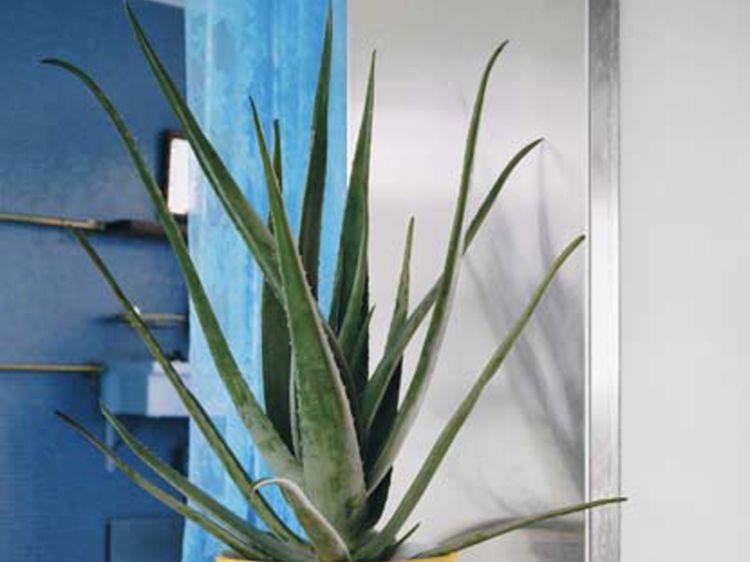 Tout savoir sur l aloe vera, plante d intérieur facile à vivre et ... 93104a13b479