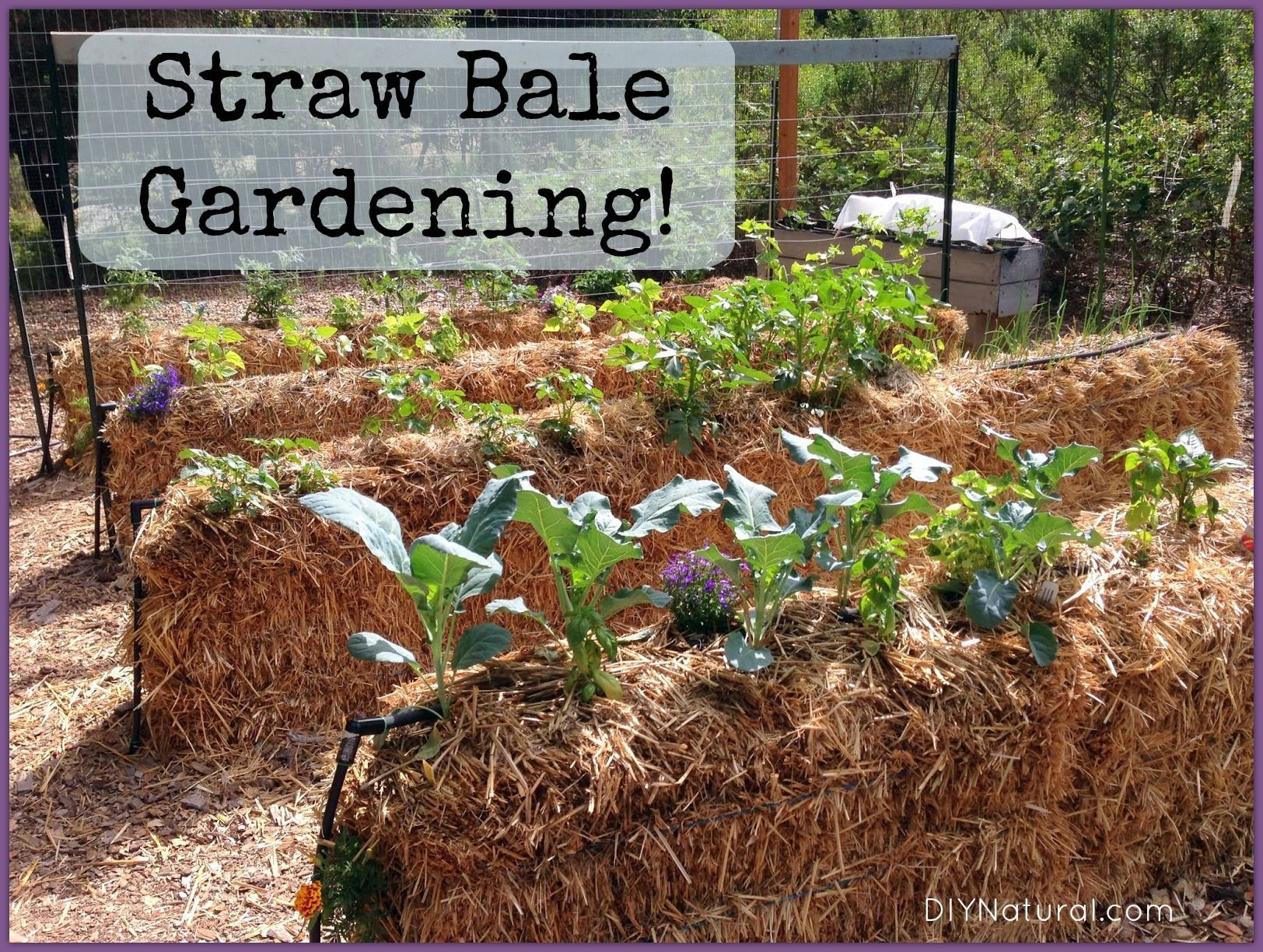 Straw bale gardening is simple and effective. Setting them up is ...