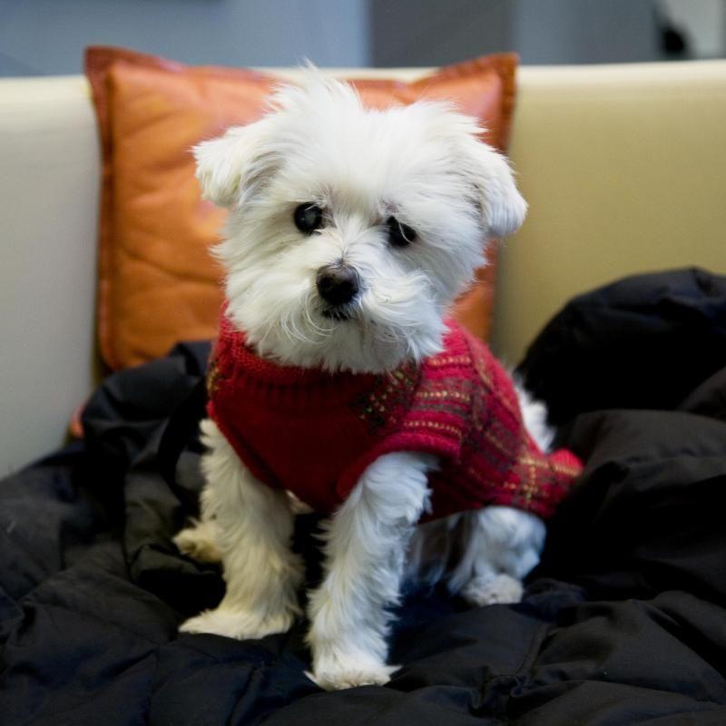 Adopt Johnny On Maltese Dogs Little Dogs Maltese