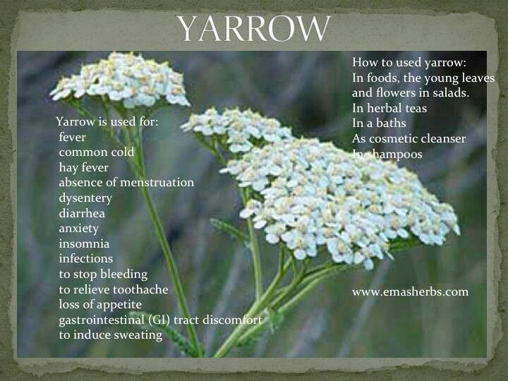 Health Benefits Of Yarrow Herbalism Yarrow Healing Herbs