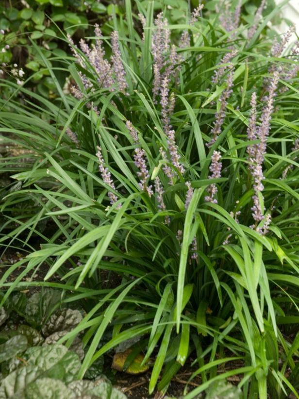 Groundcovers That Stay Green Yard Xeriscape Liriope Muscari Big
