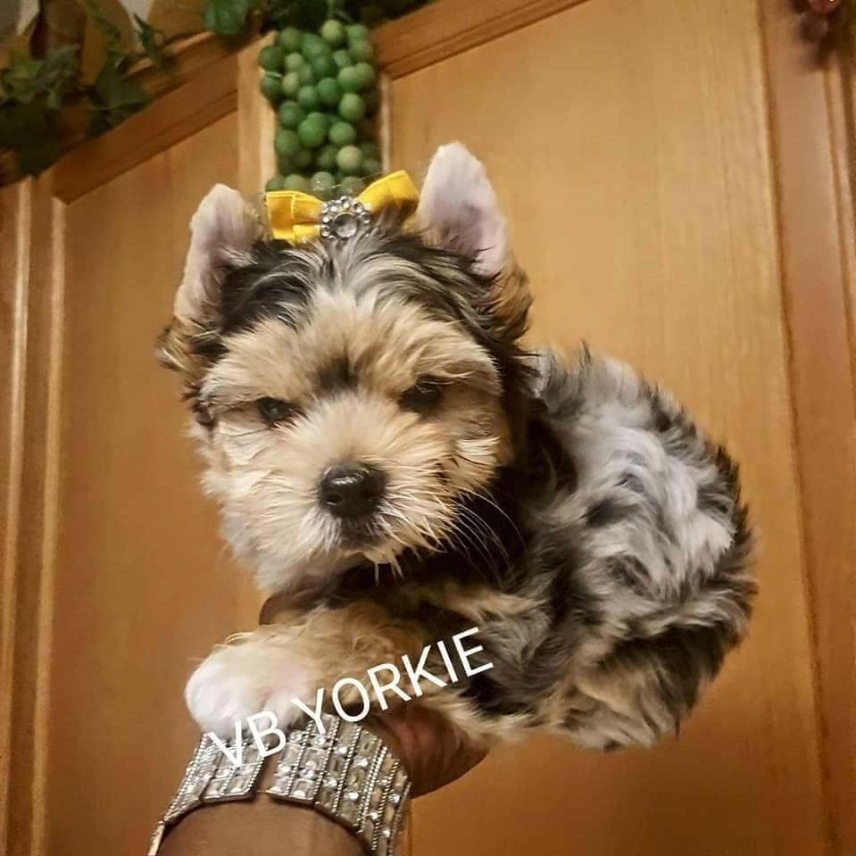 Merle Yorkies In Texas Yorkie Breeders Yorkie Black Lab Puppies