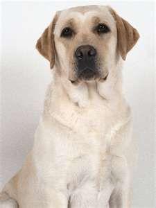Yellow Lab Labrador Retriever Labrador Lab Dogs
