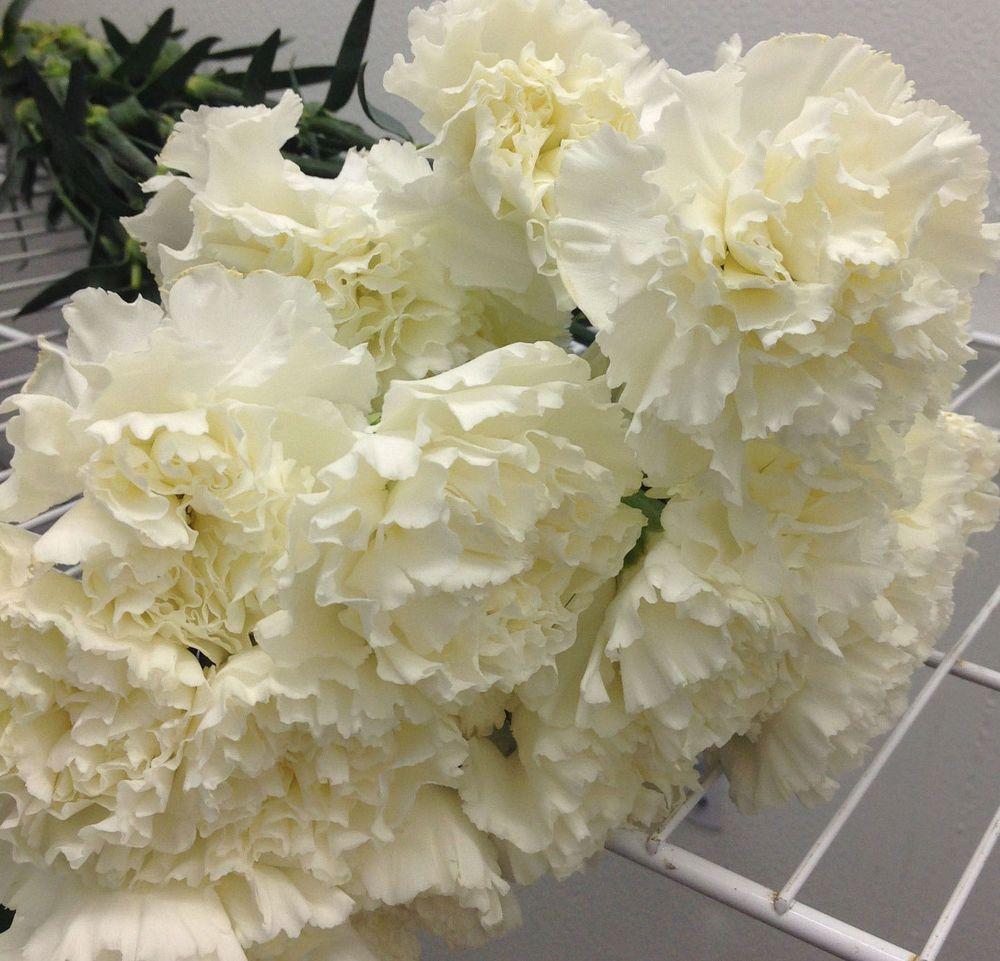 25 Stem Fresh White Carnation Flowers Bulk Wedding Event Centerpeice