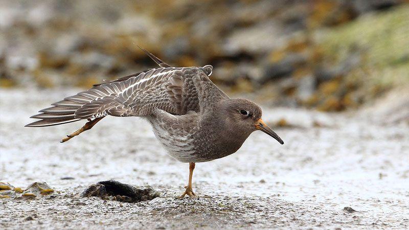 Vogelen op de Brouwersdam Paarse strandloper- Kasteelheertje