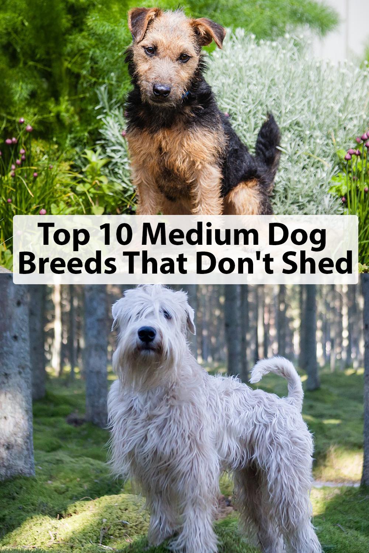 Top 10 Medium Dog Breeds That Don T Shed Dog Breeds That Dont Shed Dog Breeds Medium Low Shedding Dogs