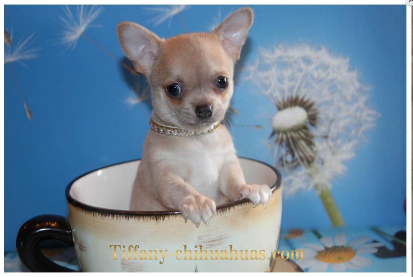 Teacup Chihuahua For Sale Chihuahua Breeders Chihuahua Chihuahua Puppies
