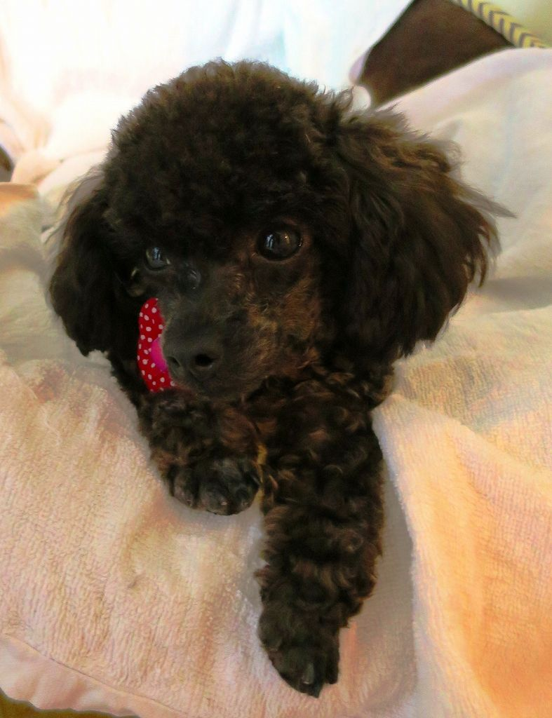 Monroe Cute Animals Poodle Animals