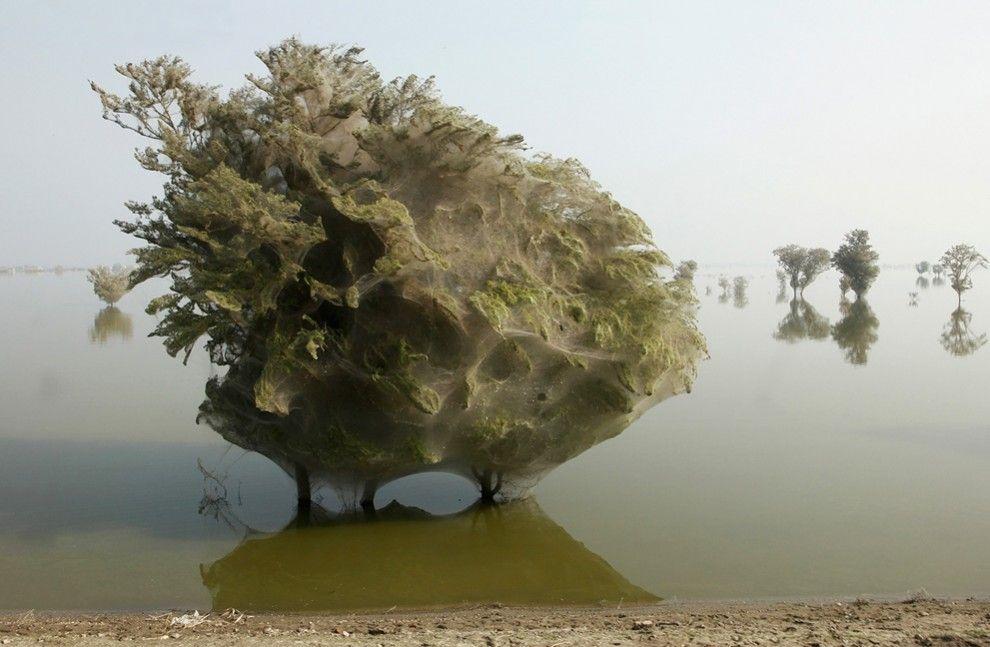 Il rifugio dei ragni Fotografia di Russell Watkins, U. K. Department for International Development.  Nel villaggio pakistano di Sindh, ai margini di una fattoria allagata, si allunga una fila di alberi avvolti in una sorta di sudario spettrale creato dalle tele di milioni di ragni in fuga dall'alluvione che ha devastato il paese nel 2010.