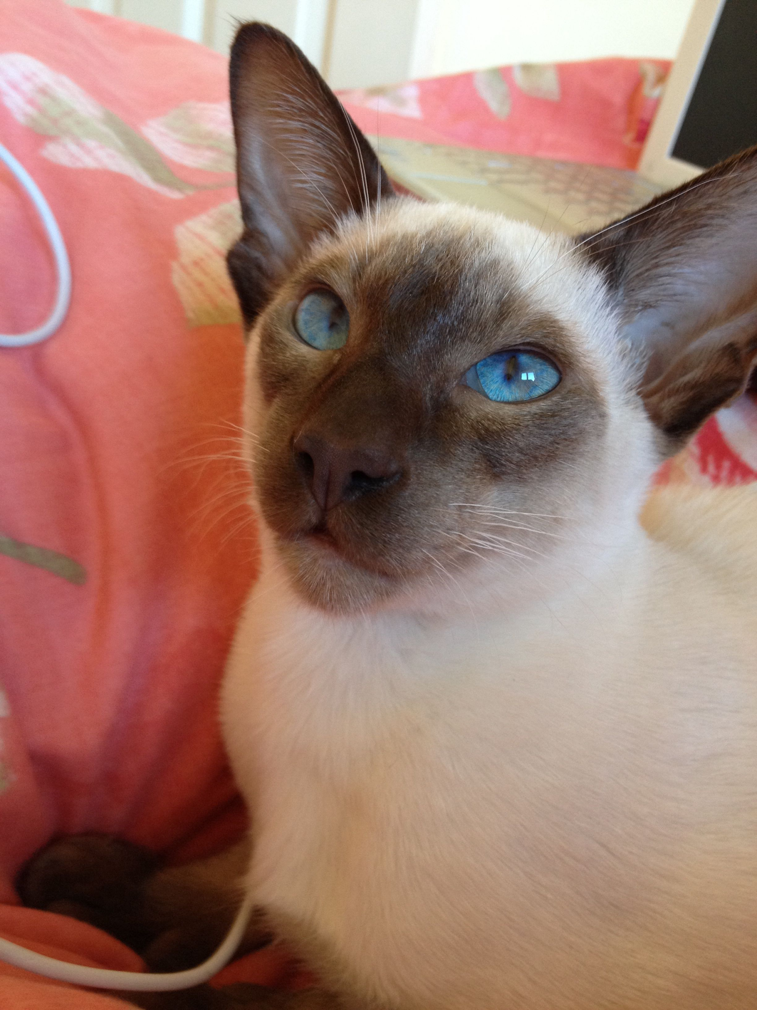 Eyes To Die For My Beautiful Chocolate Point Siamese Ted Oriental Shorthair Cats Cat Brain Siamese Cats