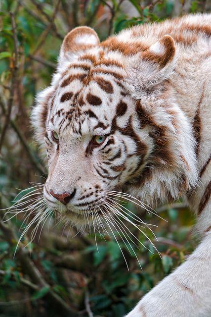 Portrait of a walking white tiger by Tambako the Jaguar, via Flickr