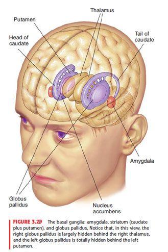 Basal Ganglia … | Neurociência | Pinterest | Brain, Anatomy and ...
