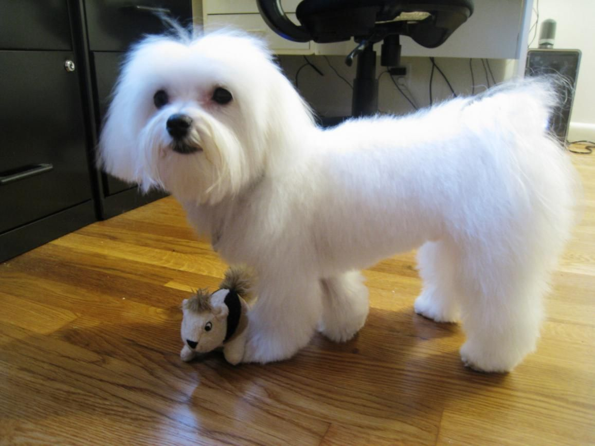 how to groom and trim maltese dog haircuts styles pictures