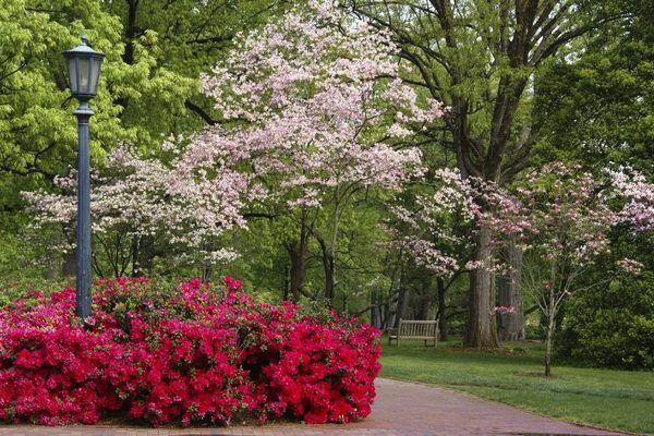 List Of Dwarf Azaleas Hunker Dwarf Azaleas Backyard Trees Best Perennials