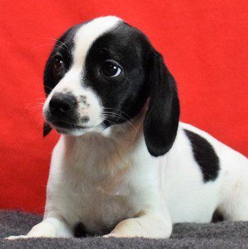Beagle Puppy For Sale In Chattanooga Tn Adn 44216 On Puppyfinder