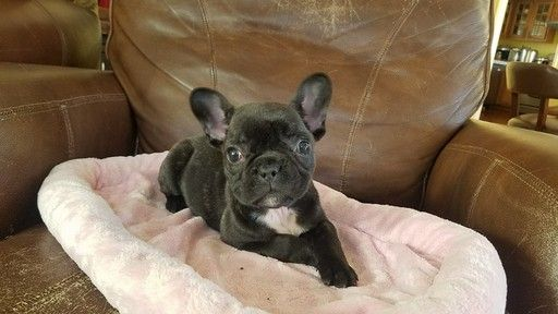 French Bulldog Puppy For Sale In Los Angeles Ca Adn 63031 On