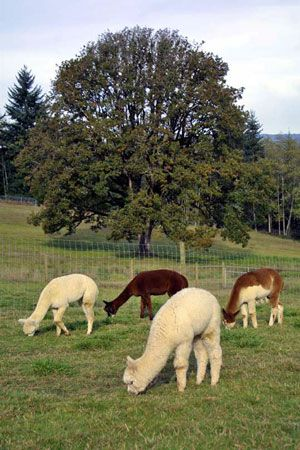 Alpacas In The Pasture With A Big Beautiful Oak Tree In The Background Randy And Karin Are The Alpaca Ranchers At The Alpaca Farm Woodland Animals Beautiful