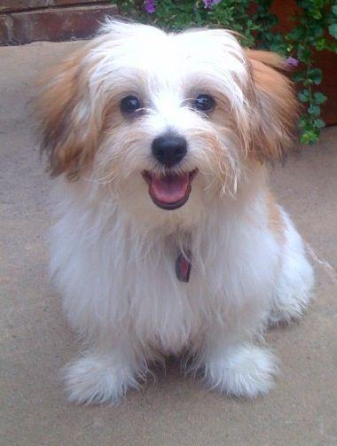 Papitese Papiteses Papillon Maltese Hybrid Cute Dog Mixes Mixed Breed Dogs Hybrid Dogs