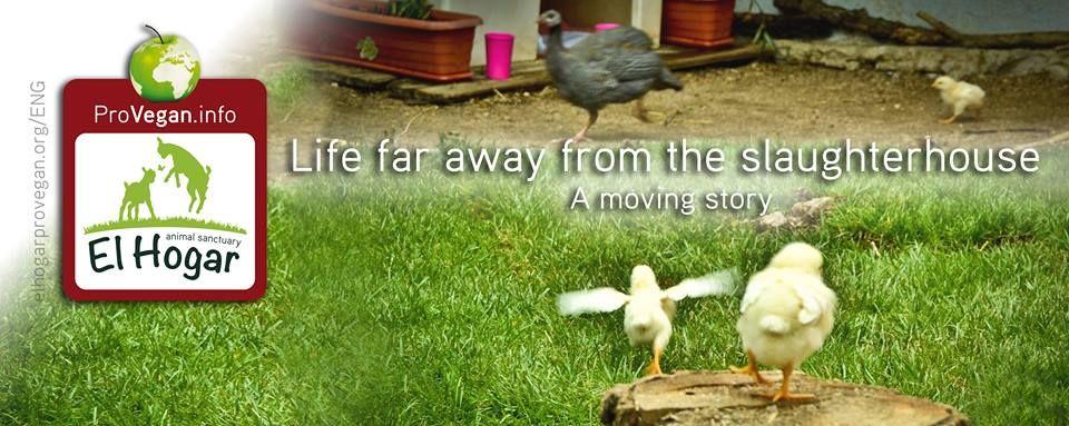 www.elhogarprovegan.org Activism animal rights chicken broiler vegan